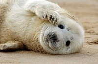 Grey Seal (Halichoerus grypus), pup lying on beach. U.K.
