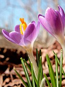 Crocus blooms, early Spring. Appalachian foothills, Southeast Ohio, USA