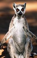 Ring-tailed Lemur (Lemur catta). Madagascar
