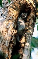 White-footed Sportive Lemur (Lepilemur leucopus). Berenty Reserve, Madagascar