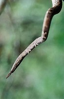 Leaf-nosed Snake (Langaha nasuta). Masagascar