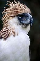 Greater Philippine Eagle (Pithecophaga jefferyi), captive. Philippines