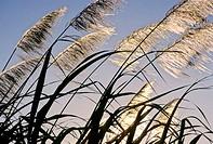 Sugar cane plantation. Saint Andre area. Reunion Island. Indian ocean. France.