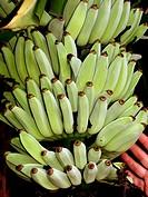 Florida Everglades, banana