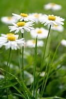 Daisies in grass, Bellis perennis