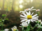 Wild asters (Aster sp.) - Appalachian foothills, Southeast Ohio, USA