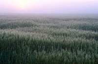 Wheat field at sunrise