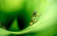 Strawberry Poison Dart Frog (Dendrobates pumilio). Bocas del Toro. Panama.