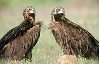 Black vulture (Aegypius monachus) pair courting. Cabañeros National Park. Ciudad Real. Spain