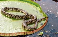 Victoria water lily (Victoria regia) and anaconda (Eunectes murinus). Water pond near Porto Joffre. Mato Grosso. Brazil.