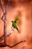 White eyed parakeet (Aratinga leucophthalmus) pair perching on a branch in front of sandstone rocks. Chapada dos Guimarães near Cuiabá. Mato Grosso. B...