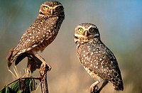 Burrowing owl (Athene cunilaria) pair sitting on a perch. Chapada dos Guimaraes. Mato Grosso. Brazil.