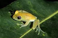 Madagascar Tree Frog, Boophis leuteus, Perinet Rainforest Reserve, Madagascar