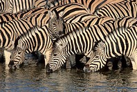 Burchell´s Zebra, Equus burchelli, herd drinking at waterhole, Etosha National Park, South Africa