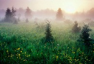 Bloom of buttercup in  meadow with spruces and morning mists at sunrise. Lively. Ontario, Canada