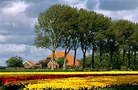 Tulip fields. North Holland.