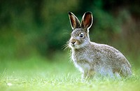 A young alpin hare (Lepus timidus). Burvik, Vasterbotten. Sweden.