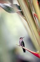 Purple-throated mountain-gem (Lampornis calolaema). Vara Blanca. Costa Rica.