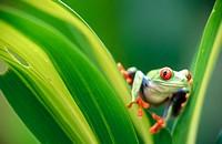 Red-eyed tree frog (Agalychnis callidryas) looking at me between some leaves. Selva Verde. Costa Rica.