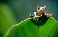 Red-eyed tree frog (Agalychnis callidryas) behind a leaf. Selva Verde. Costa Rica.