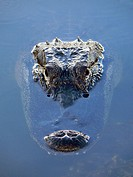 Alligator head (Alligator mississippiensis). Florida, USA