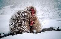 Japanese macaque (Macaca fuscata). Joshinetsu National Park. Japan Alps. Japan