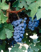 Cabernet Sauvignon grapes. Red Mountain appellation, Columbia Valley, Eastern Washington, USA