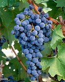 Merlot grapes. Red Mountain appellation, Columbia Valley, Eastern Washington, USA