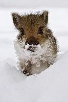 Wild Boar Piglets. Sus scrofa. Schleswig-Holstein, Germany