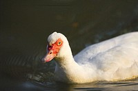 A Pekin/Muscovy hybrid at sunrise at the Pool in Central Park. New York. USA.