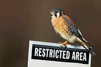A male American Kestrel hunts from a Restricted Area sign at Floyd Bennett Field, part of Gateway National Recreation area in Brooklyn, New York. USA.