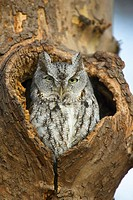 An gray morph Eastern-screech Owl (Megascops asio) perched in a cavity in an American Sycamore (Platanus occidentalis) tree in New York City´s Central...
