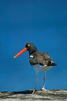 An American Oystercatcher (Haematopus palliatus) on the lookout for its next meal at Breezy Point early on a bright summer´s morning. Breezy Point is ...