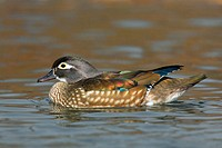 A female Wood Duck (Aix sponsa) floating on the cold waters of Central Park Lake early on a winter´s morning. New York. USA.