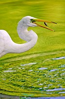 A Great Egret (Ardea alba) feeding on small bait fish at the Pool in New York City´s Central Park. This common visitors to the park were almost wiped ...