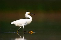 A Snowy Egret (Egretta thula) wading in the shallow water of the West Pond at Jamaica Bay National Wildlife Refuge. The trademark yellow foot of the S...