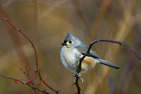 A Tufted Titmouse (Parus bicolor) perched on a rose bush on a cold December day in New York City´s Central Park. USA.