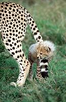 Cheetah cub (Acynonix jubatus), playing with it's mother's tail. Masai Mara Natural Reserve. Kenya