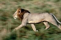 Male Lion running(Panthera Leo). Masai Mara Natural Reserve. Kenya