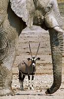 Gemsbok (Oryx gazella) and African Elephant (Loxodonta africana); while the elephant bull occupies the waterhole, the gemsbok has to wait in the vicin...