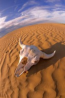 Buffalo skull in desert