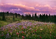 Wildflowers at sunset on Mount Rainier
