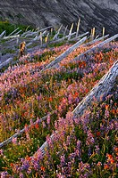 Wildflower field, and fallen trees on Mount Saint Helens