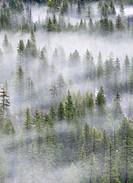 Trees in mist, Yosemite