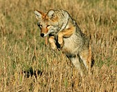 A coyote pouncing on it´s prey in the Tetons.