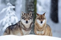 Wolves (Canis lupus), Bayerischer Wald Nationalpark. Bavaria, Germany