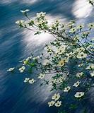 Pacific Dogwood (Cornus nuttallii) blooming over the McKenzie River. Oregon, USA