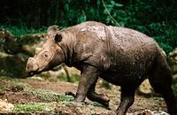 Sumatran rhinoceros (Dicerorhinus sumatrensis). Taman Safari Indonesia. Ex-situ conservation site for endagered indonesian wildlife. Located at the bu...