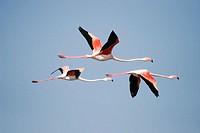 Flamingos flying in wetland, Sanlucar de Barrameda. Cádiz province. Andalucía. Spain.