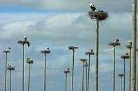 White Stork (Ciconia ciconia) nesting on wooden poles. Cáceres province, Extremadura, Spain